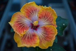RK Wild Saffron