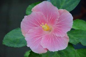 RK Pale Pink