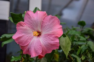 RK Cherry Blossom